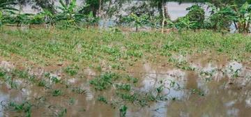 Lluvias afectan cosechas y aún hay productos en riesgo