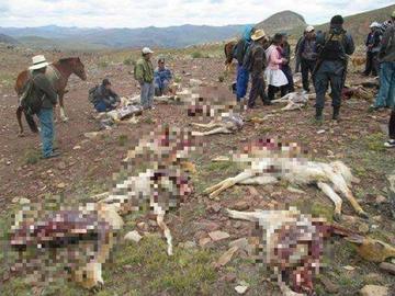 Exterminadores de vicuñas son enviados a prisión preventiva