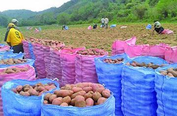 Promueven el uso de semilla de papa en el norte potosino