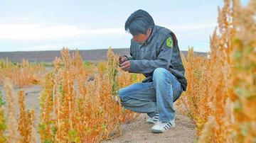 Sequia está terminando la producción de quinua