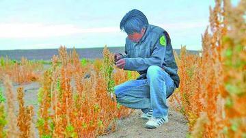 Pérdidas de quinua llegan al 80 % en 39 poblaciones