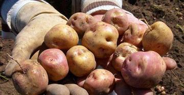 Bolivia requiere 36 mil toneladas de papa para abastecer el mercado