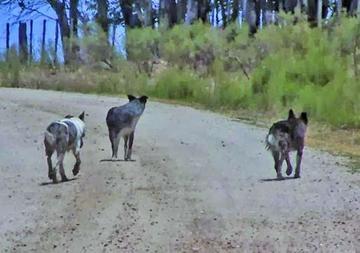 Continúa la  vigilancia de los casos de rabia canina