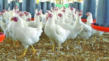 Precio del pollo vivo inquieta a los avicultores