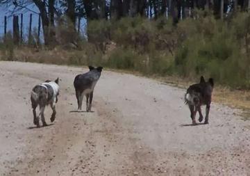 vJauría de perros causa temor en comunidades rurales del municipio