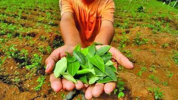 Unodc: 11.299 toneladas de hoja de coca se van al mercado ilícito