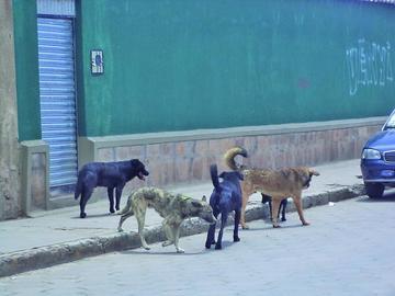 Suben a 25 los casos de rabia canina en la ciudad de Potosí