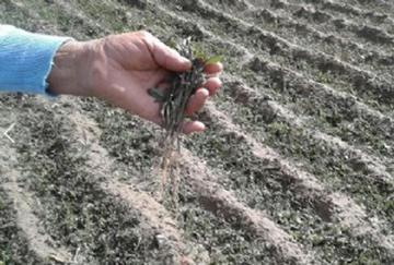 Granizada destruye cultivos en San Pedro de Buena Vista