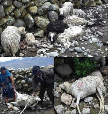 Jauría de perros mata a los animales en ayllu