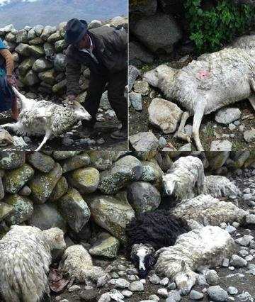 Inician la captura de perros que causaron daño a ganado ovino