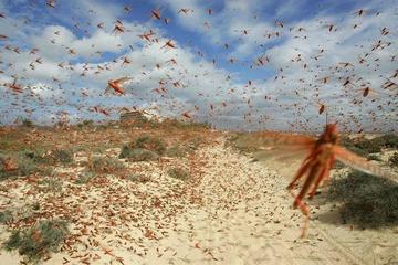 Técnicos evaluarán si existe presencia de las langostas en Potosí