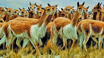 El Sernap reporta que subió la población de vicuñas en Bolivia