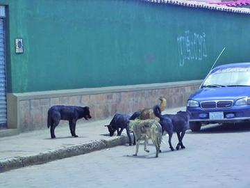 Reportan el tercer caso de rabia canina en Potosí