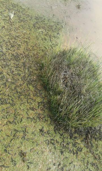 Plaga de gusanos devora los cultivos de quinua