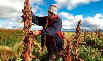 Aumenta el consumo de quinua a 1,5 kilogramos por persona