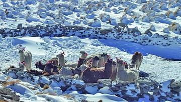 Inician operativo para rescatar a los animales aislados por la nieve