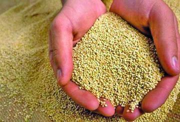 Afirman que Bolivia ha perdido mercado para exportación de quinua