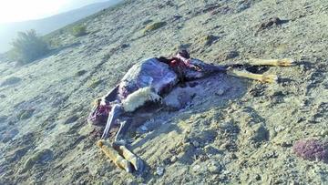 Detienen a cazadores furtivos que exterminaban a vicuñas