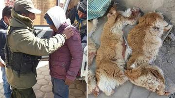 Envían preventivamente a prisión a cazadores furtivos que mataron a vicuñas