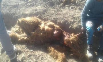 Perros vagabundos vuelven a matar a ganado camélido