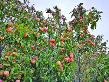 Presentan proyecto para la producción de dos frutas