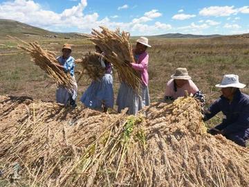 La producción de quinua se cae por la sequía y su mínimo precio