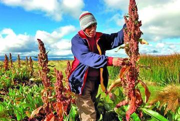 Destacan importancia nutritiva de la quinua