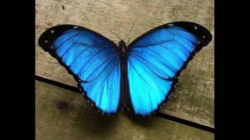Mariposa  azul de Miami lucha  por sobrevivir