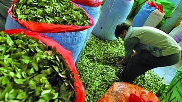 Gobierno: demanda de coca para el consumo tradicional aumenta