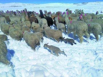 Existen 5.800 animales en riesgo por la nevada en tres departamentos