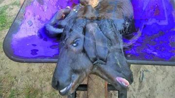 Chuquisaca: encuentran a un ternero con dos cabezas en Monteagudo