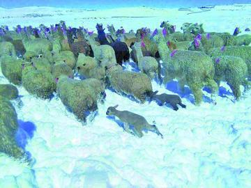 Reportan que nevadas y heladas afectaron a cerca de 5 mil camélidos