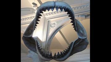 Exhiben los restos del tiburón más grande