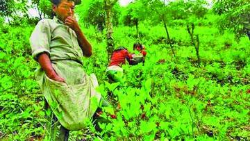 Advierten que cultivos de coca sobrepasan la línea roja del Tipnis