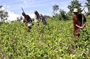 ONU constata crecimiento imparable de cultivos ilícitos en Colombia