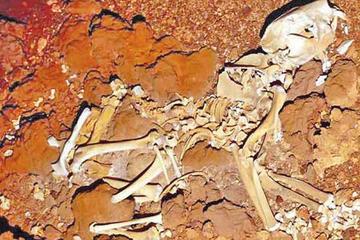 Hallan el fósil de León marsupial australiano