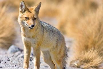 Vendían un zorro andino por internet