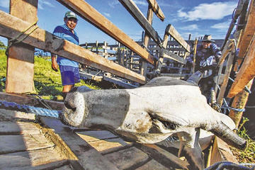 Trasladan 536.000 cabezas de ganado a zonas altas