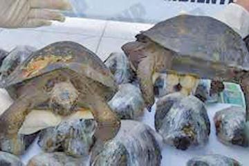 Tortugas rescatadas en Perú están bajo investigación en las Galápagos