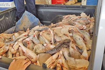 Decomisan 700 kilos de pescado; lo darán a gente necesitada
