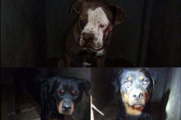 Mujer muere tras ser atacada por 3 perros de raza peligrosa