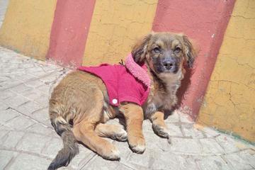 Reportán más casos de rabia canina y solicitan vacunar a los perritos