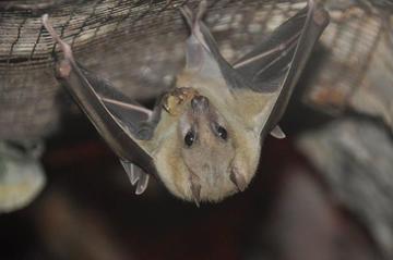 El murciélago hembra ofrece sexo a cambio de comida