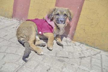 Vacunación a cachorros llegó al 80 por ciento en el municipio de Potosí