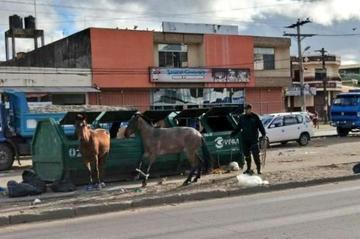 Policía rescata caballos abandonados que se alimentan de basura