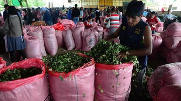 Afirman que 50.000 cocaleros aportarán a la campaña del MAS