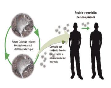 Buscan identificar vectores de la enfermedad del Arenavirus