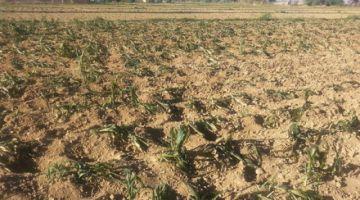 Reportan casi 89 hectáreas de flores y hortalizas afectadas por heladas