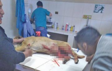 Adolescente cortó el pene de un  can cuando cruzó con su perra