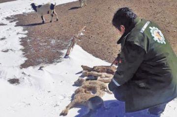 El Senasag reporta 111 animales muertos en tres días de nevada